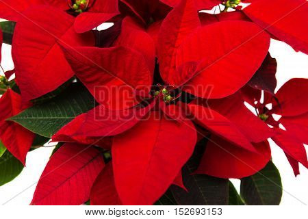 close up of a Christmas flower poinsettia