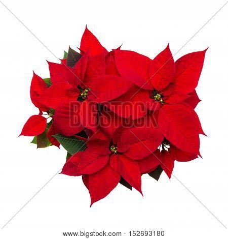 Christmas flower poinsettia isolated on white background
