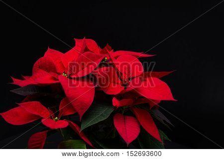 red Christmas flower poinsettia on black background