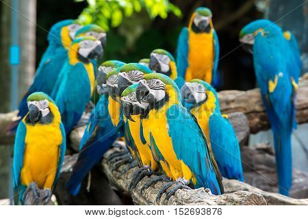 Blue and yellow macaw birds sitting on wood branch. Colorful macaw birds in forest.