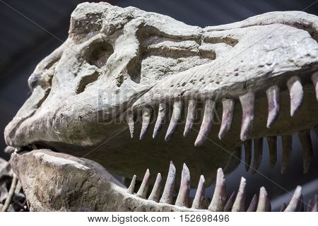 Badajoz. Spain - October 15 2016: Realistic model of dinosaur at Ifeba Expojurasico Exhibition. Tyrannosaurus Rex skull