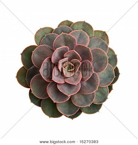 Echeveria Rosette From Above On White Background