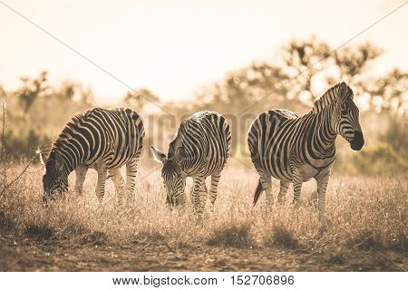 Herd Of Zebras Grazing In The Bush. Wildlife Safari In The Kruger National Park, Major Travel Destin