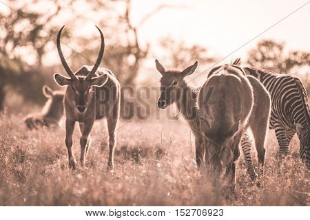 Herd Of Zebras And Waterbuck Grazing In The Bush. Wildlife Safari In The Kruger National Park, Major