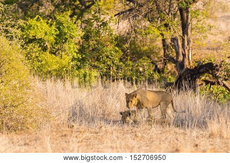 Two Young Male Lions Lying Down On The Ground In The Bush. Wildlife Safari In The Kruger National Pa