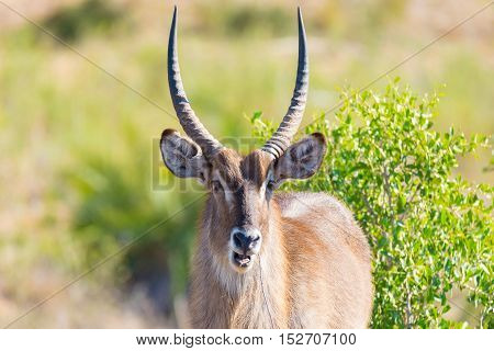 Male Waterbuck In The Bush Looking At Camera, Close Up. Wildlife Safari In The Kruger National Park,