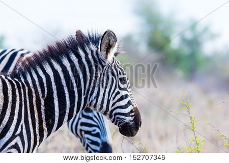 Zebra Profile, Cold Toned. Wildlife Safari In The Kruger National Park, Famous Landmark And Travel D