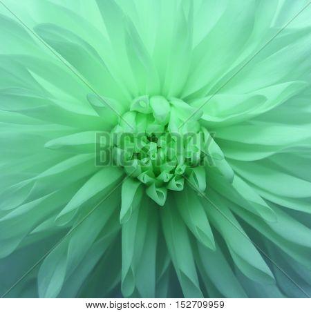 green flower Closeup. Nature. beautiful dahlia. garden flower.