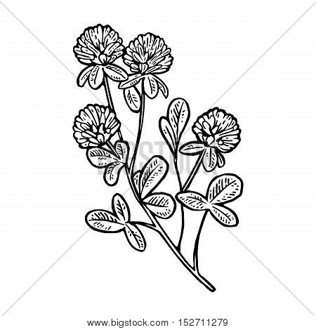 Branch of clover. Vector engraving vintage black illustration. Isolated on white background.