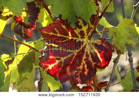 leaf of a grapevine in sunshine in the autumn