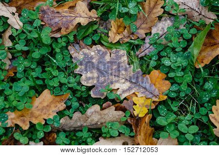 Autumn pattern from the yellow leaves of an oak which have fallen to even green grass