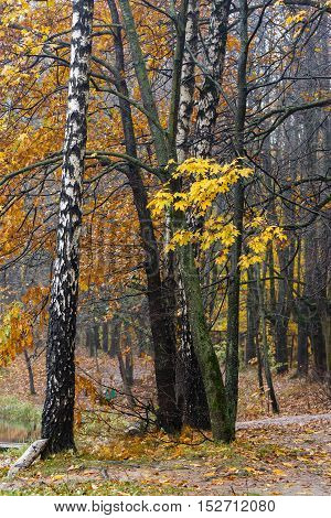 Autumn fall season in the deciduous wood