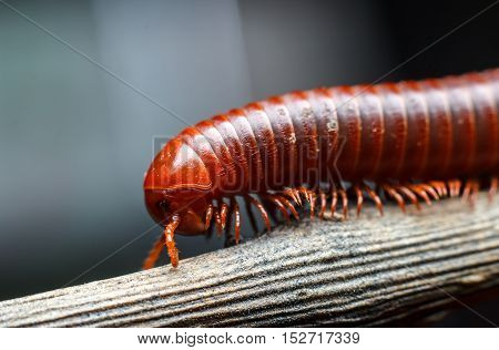 the millipede walking on the dry wood
