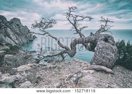 Tree on rock in Crimea, toned