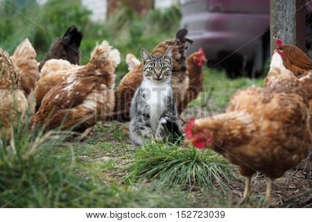 Country cat sitting among chickens walking. Green grass, village