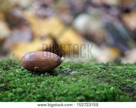 Germinated acorn in autumn forest on the moss
