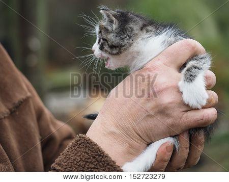 Small funny kitten in human hands. Gray kitten, striped