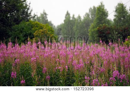 Glade with pink flowers rain. Flowers willow-herb