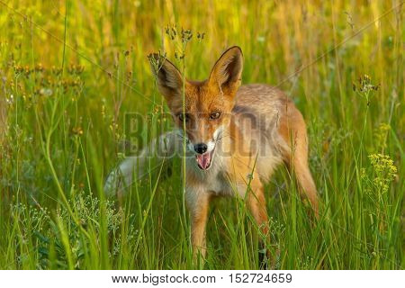 Red Fox On A Green Meadow