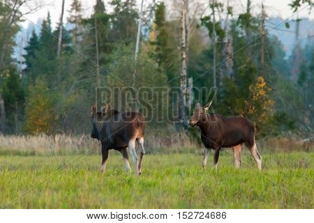 Two Adult Moose In The Autumn Field