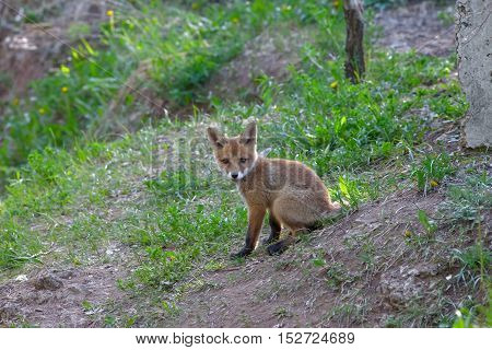 Little Red Fox And Forest