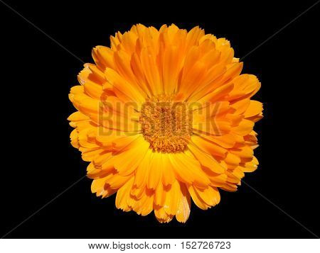 One calendula orange flower isolated on black.