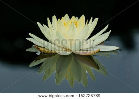 White Lotus flower and Lotus flower plants