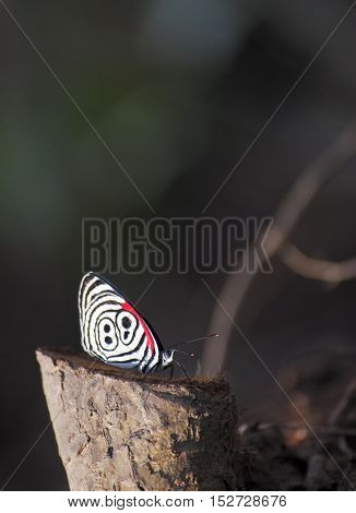 Jungle butterfly showing it's beautiful red, black and white pattern