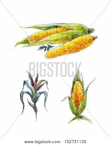 corn watercolor sketch vegetable painting isolated on white