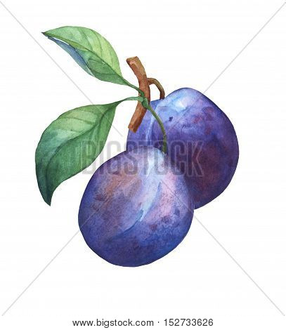 Two whole plum on branch with leaves . Hand drawn watercolor painting on white background.