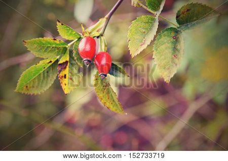 Rose bush with berries. (pometum) Rosehip. Autumn harvest time to prepare a healthy domestic tea
