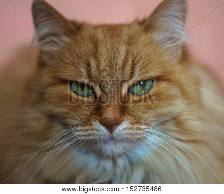 red cat watching close-up with blurred background