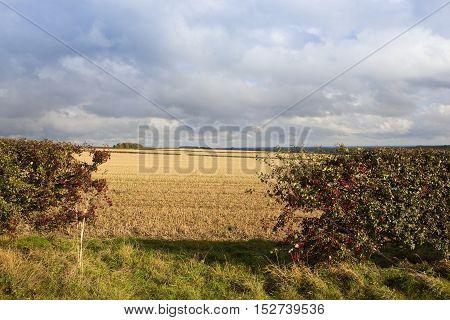 Hawthorn Berries In Autumn
