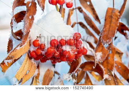 Covered with snow bunches of red mountain ash with yellow leaves