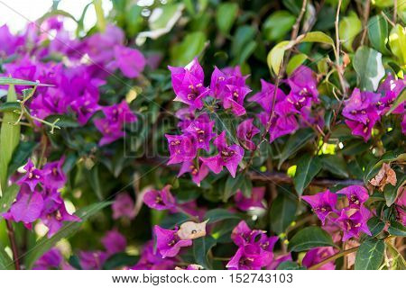 Bougainvilleas against the blue sky decoration organic