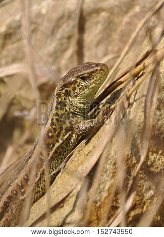 The sand lizard (Lacerta agilis) standing on the rock