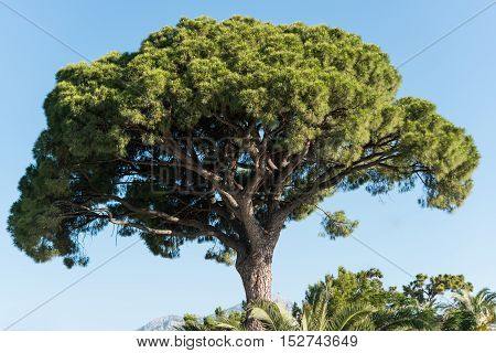 high pine tree in Turkey against the blue sky