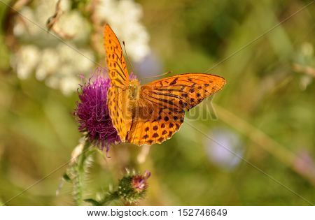 Silver-washed fritillary (Argynnis paphia) on the flower