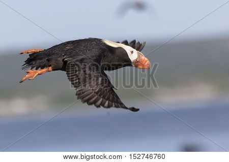 tufted puffin which takes off a cliff sunny summer day
