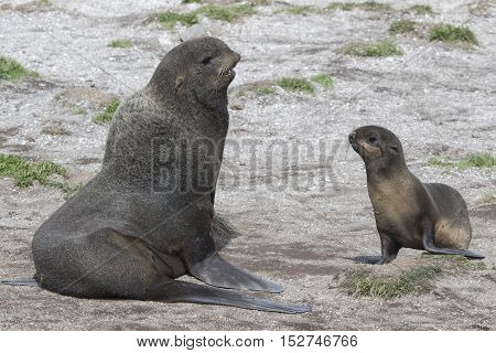 Young male and female northern fur seals on the beach Bering Island