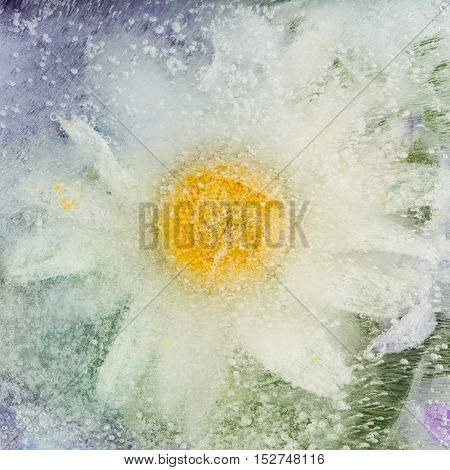 beautiful icy abstraction of the delicate flower of chamomile frozen in clear water with air bubbles