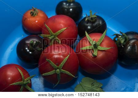 Red and black tomatoes fresh from the garden in a blue plastic bowl selected focus narrow depth of field