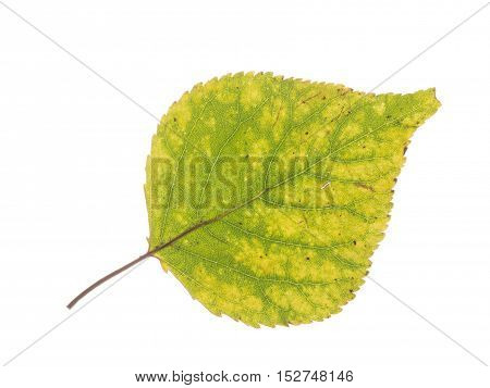 beautiful bright mottled green-yellow autumn delicate leaf on a white background isolated