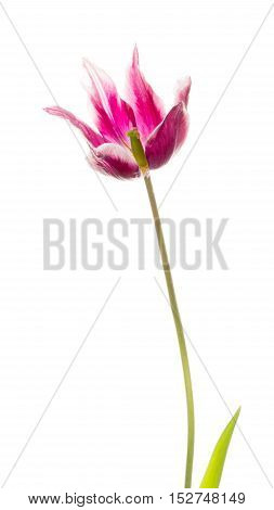 gentle beautiful white purple tulip on a long thin green stalk unusual varieties of lily isolated on white background