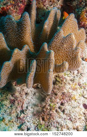 Colorful Ocean Landscape With Leather Corals In The Maldives