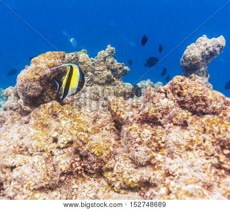 Moorish Idol Fish In Shallow Water, Maldives