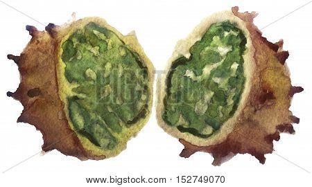 watercolor sketch horned melon on white background