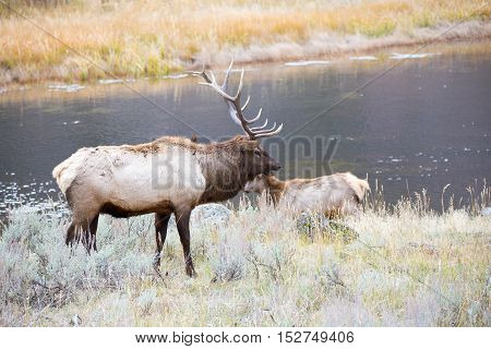 Bull elk standing next to a cow elk by the Yellowstone River in Montana.