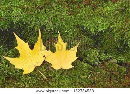 yellow autumn maple leaves on green peet moss background
