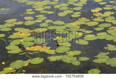 Lily pads in the fresh water lake of Loch Lomond in Scotland in the summer.